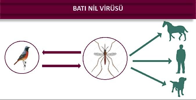 Batı Nil Virüsü